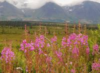 Fireweed in Cantwell