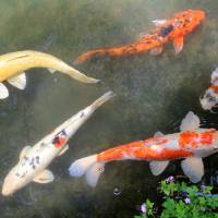 Koi Fish Art Prints & Posters by Karen Adams