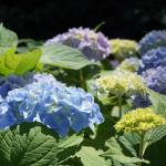"""Hydrangeas Blue Lavender Green Garden art prints"" by BasleeTroutman"