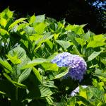 """Green Garden Hydrangea Flower art prints Blue"" by BasleeTroutman"