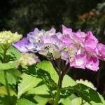 """Hydrangeas Floral prints Pink Purple Flowers"" by BasleeTroutman"
