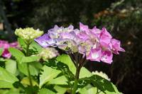 Hydrangeas Floral prints Pink Purple Flowers