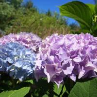Hydrangeas Blue Lavender Flowers art prints Floral Art Prints & Posters by Baslee Troutman Fine Art Prints