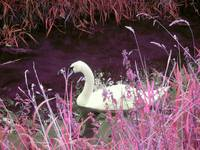 The pink swan