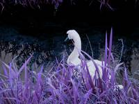 The purple swan