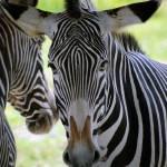 Spike the Zebra