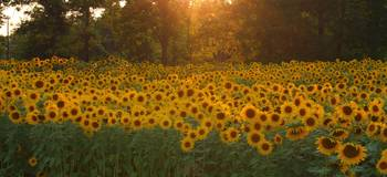 Golden Sunflower Field