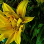 """Yellow Lily"" by AlexButler"