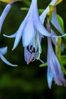 Morning Hostas