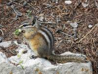 Little Chipmunk