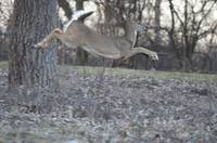 Running White-tailed Deer
