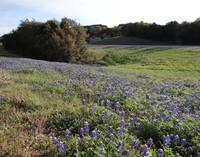 Even-More-Bluebonnets