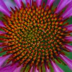 """Captivating Coneflower"" by SoulfulPhotos"