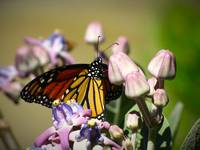 Monarch on Giant Milkweed