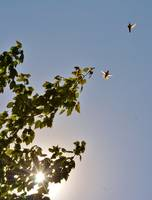 Hummingbirds due battle by the Sun