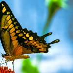 """Giant Swallowtail Butterfly #2"" by johncorney"