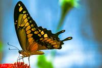 Giant Swallowtail Butterfly #2