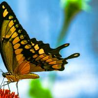 Giant Swallowtail Butterfly #2 Art Prints & Posters by John Corney