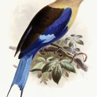 """Bluebellied Roller  handcoloured lithograph"" by The Fine Art Masters"