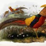 """Thaumalea Picta (Golden Pheasants), 1870-1872 (han"" by fineartmasters"