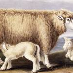 """The Cotswold Breed, Ewe, 8 years old, 1840-1842 (h"" by fineartmasters"