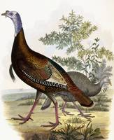 Wild Turkey, Male and Female, 1808-1814 (hand-colo