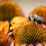 """Bee on Echinacea"" by WildAboutNaturePhotography"