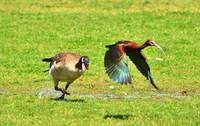 CANAD GOOSE ATTACKS GLOSSY IBIS