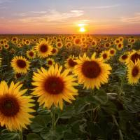 Colorado Sunflower Season Art Prints & Posters by Santomarco Photography