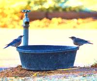 Blue Birds having a chat