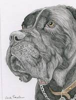 cane corso original drawing