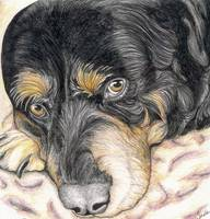 Rottweiler Original Drawing