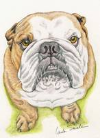 English Bulldog Drawing