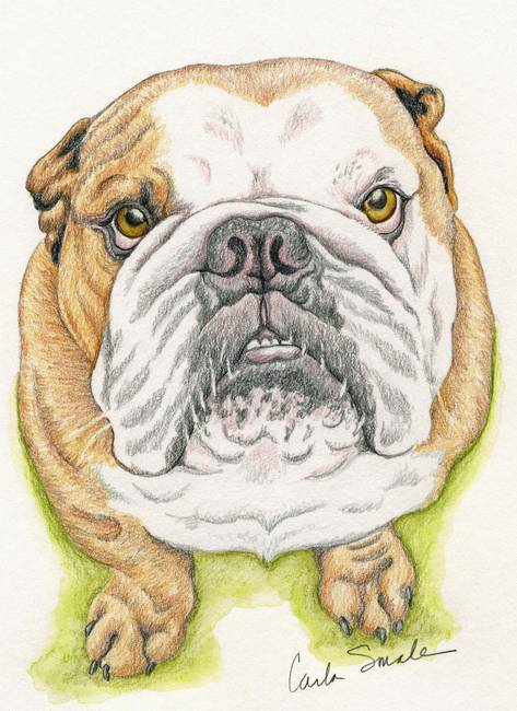 Colored English Bulldogs images