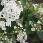 """White Flowers"" by kat_muzic"