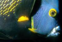 French Angelfish, Close