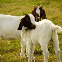 Two Goats Art Prints & Posters by Valerie Waters