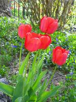 Red Tulip Flower
