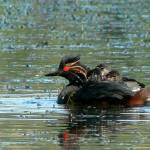 """Eared Grebe with Babies P1150402"" by rayjacque"
