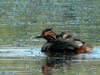 Eared Grebe with Babies P1150402