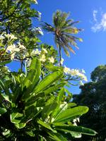 Plumeria and Coconut Palm