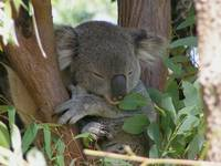 Koala Bear Napping