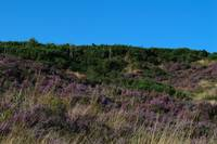 Purple Heather Covering Hednesford Hills