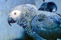Sao Tome Endemic Grey Parrot (Psittacus erithacus)