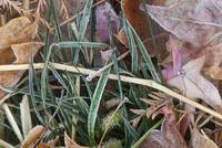 Frost On Leaves and Grasses