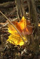 Sunlite Leaf In The Woods