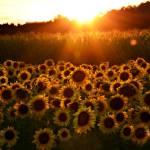 """Sunflowers !"" by DeniseMackie"
