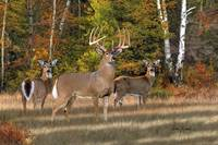 Whitetail Deer Art - The Record Breaker