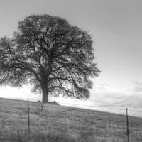 Oak Tree On A Hill Art Prints & Posters by Susana Rigato