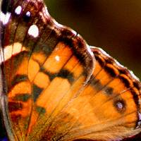 American Lady Butterfly Wing